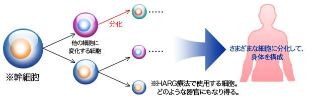 幹細胞が様々な細胞に分化